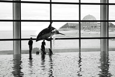 Dolphin | Shedd Aquarium | Chicago, Illinois | US - 0008