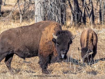 Bison tongue