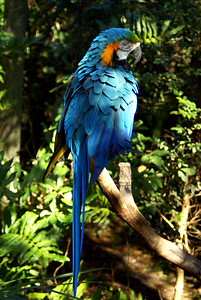 Blue-and-yellow Macaw | Brevard Zoo | Melbourne, Florida - 0012