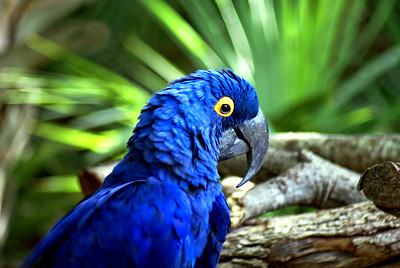 Blue Parrot | Brevard Zoo | Melbourne, Florida - 0024