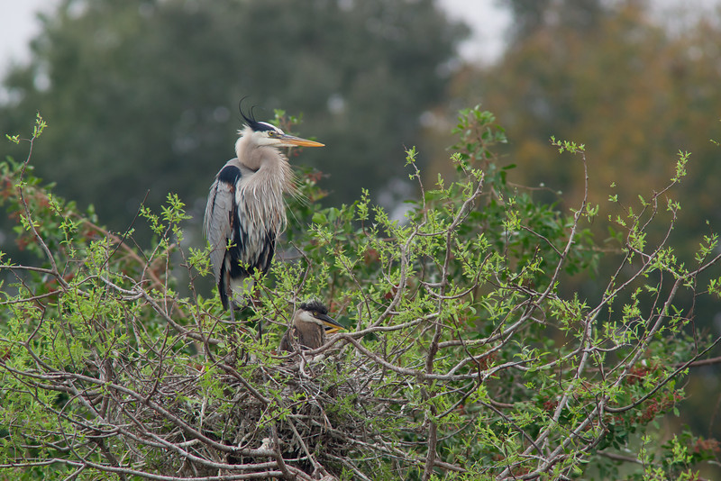 Great Blue Heron and Chick