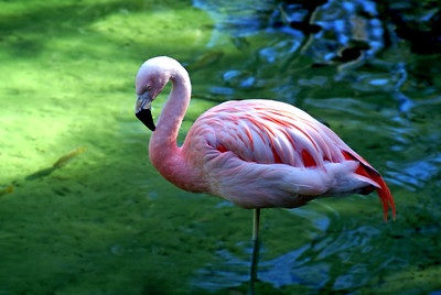 Flamingo | Brevard Zoo | Melbourne, Florida - 0020