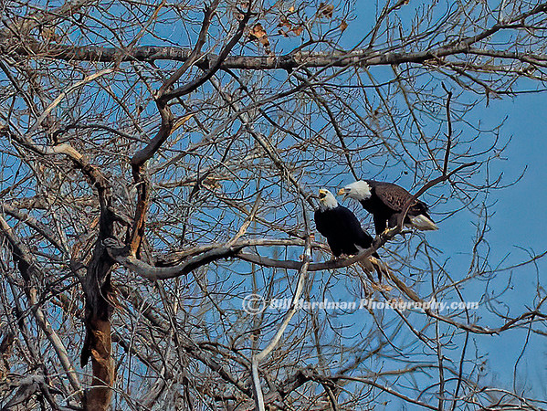 2 Bald Eagles laughing