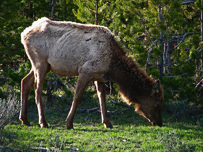 Young elk in Yellowstone National Park