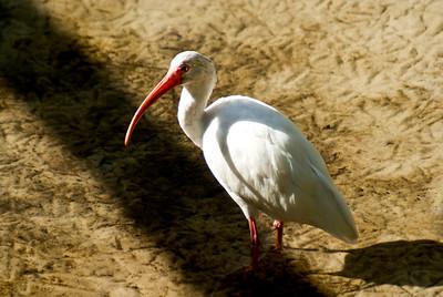 White Ibis | Brevard Zoo | Melbourne, Florida - 0021