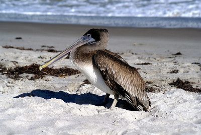 Brown Pelican | Cocoa Beach, Florida | US - 0018