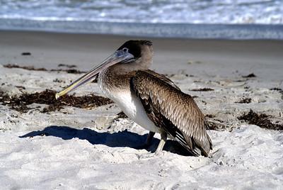 Brown Pelican | Cocoa Beach, Florida | US - 0018