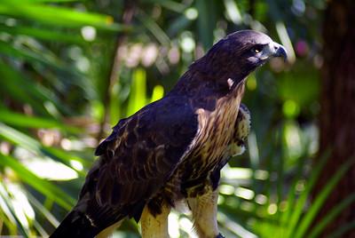 Hawk | Brevard Zoo | Melbourne, Florida - 0013