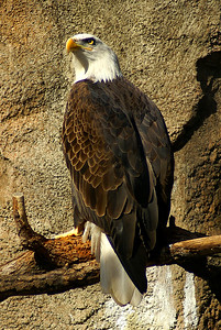 Eagle | Lincoln Park Zoo | Chicago, Illinois | US - 0014