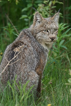 The Canadian Lynx