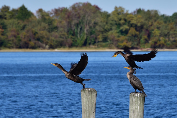 Cormorant Take Off