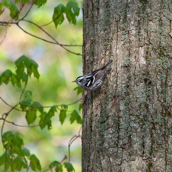 Male Black & White Warbler