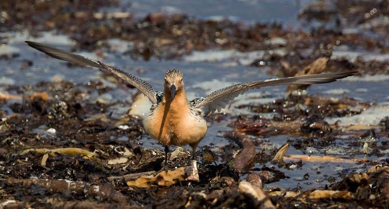 Knot in breeding plumage.
