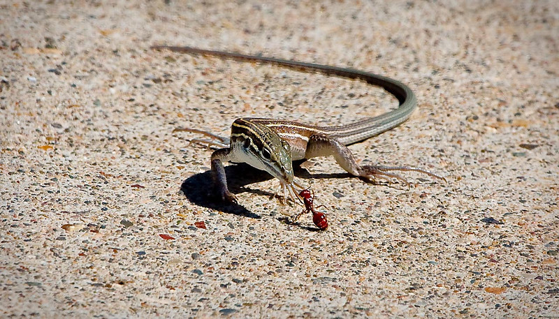 Whiptail Lizard Hunting Red Ant