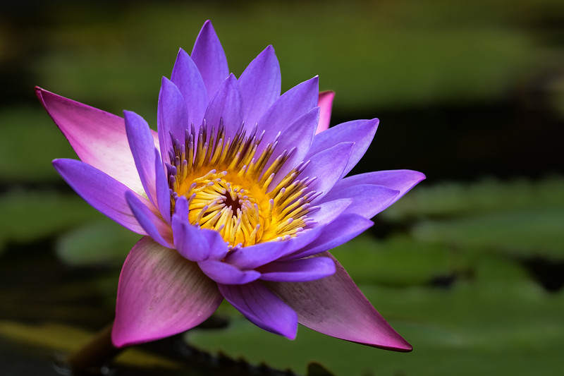 """Late Summer Waterlily"""