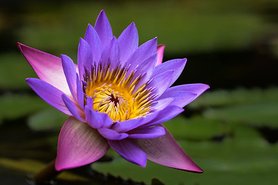 """""""Late Summer Waterlily"""""""