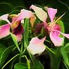 Pink Bauhinia Blossoms