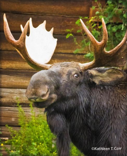 Moose at Library