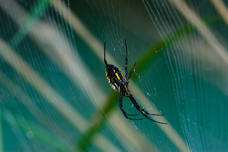 Black-and-Yellow Argiope Spider, Huff Nature Preserve, Grand Rapids, Michigan