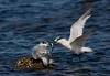 Sandwich Terns feeding a Chick. John Chapman.