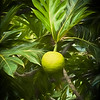 Ulu (Breadfruit)