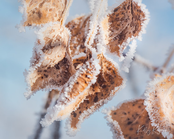 Crinkled leaves in the winter morning frost