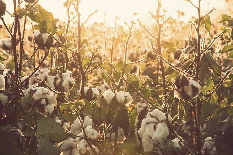"""High Cotton"""