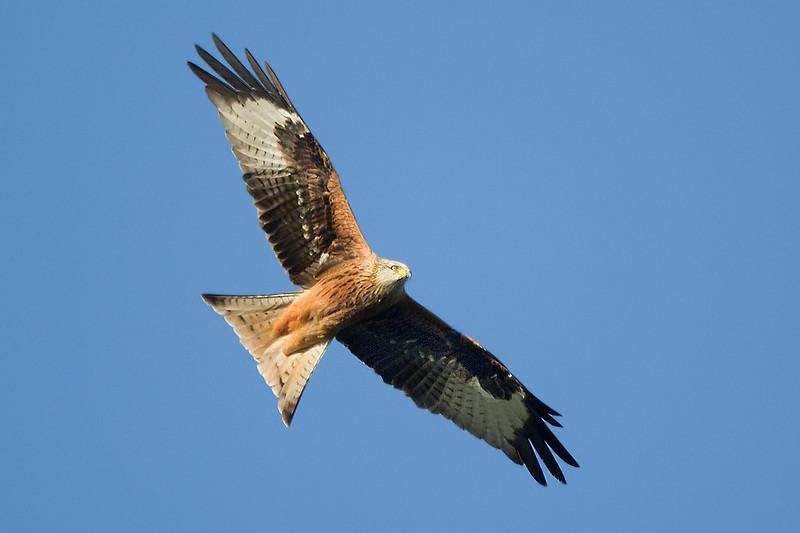 Red Kite Aberdeenshire.