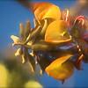 Blossom, Wiliwili Tree