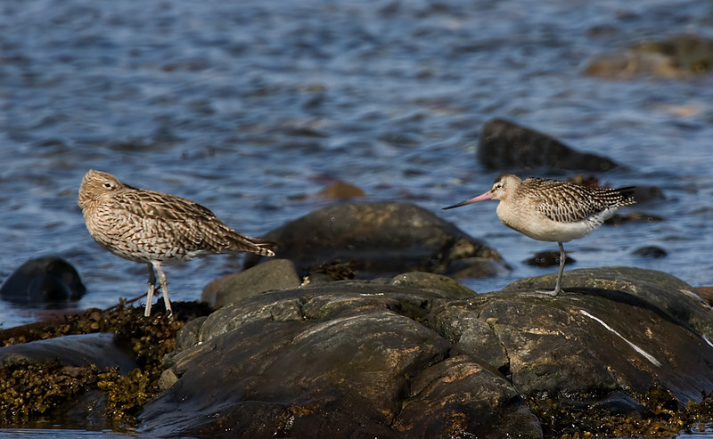 Curlew and a Bar Tail Godwit.