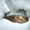 Nesting Mourning Dove
