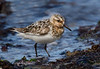Sanderling partial breeding plumage.