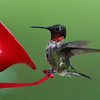 Scarlet Throated Hummingbird