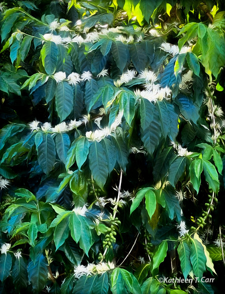 Coffee Blossoms and Green Coffee Berries