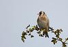 Goldfinch.