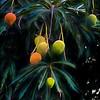 Mangoes #12