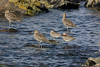 Bar Tail Godwits with Curlews.