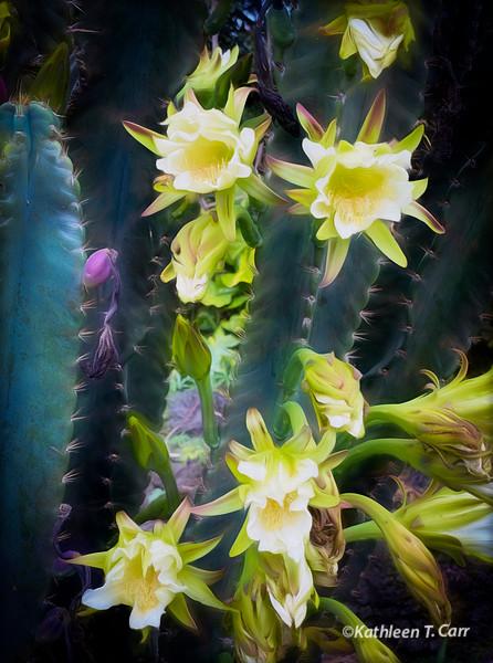 Flowering Peruvian Apple Cactus