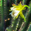 Peruvian Apple Cactus Blossom with Bees