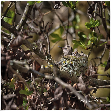 Hummingbirds in the nest