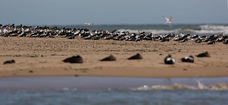 Oystercatchers on migration.