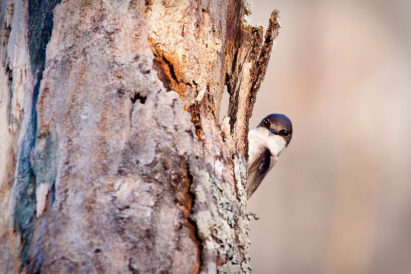 Juvenile Tree Swallow