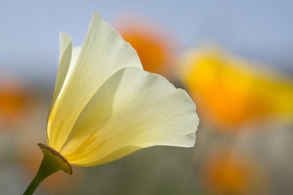 White Poppy #6 - Waving at Friends