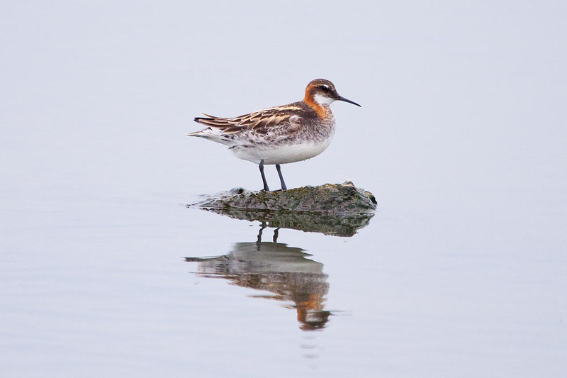 Male Red-Necked Phalarope