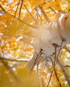 Look Up - Quaking Aspen