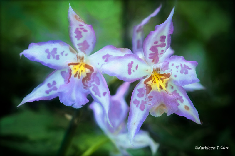 Two Purple and White Orchids