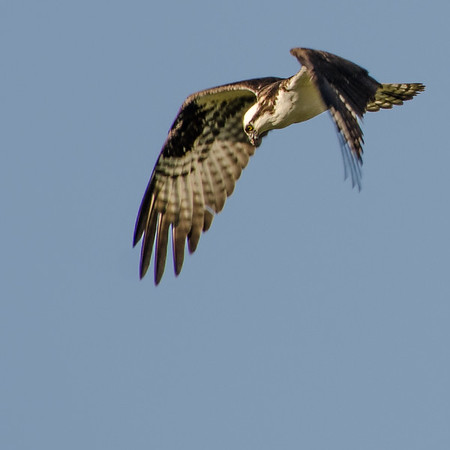Hungry Osprey