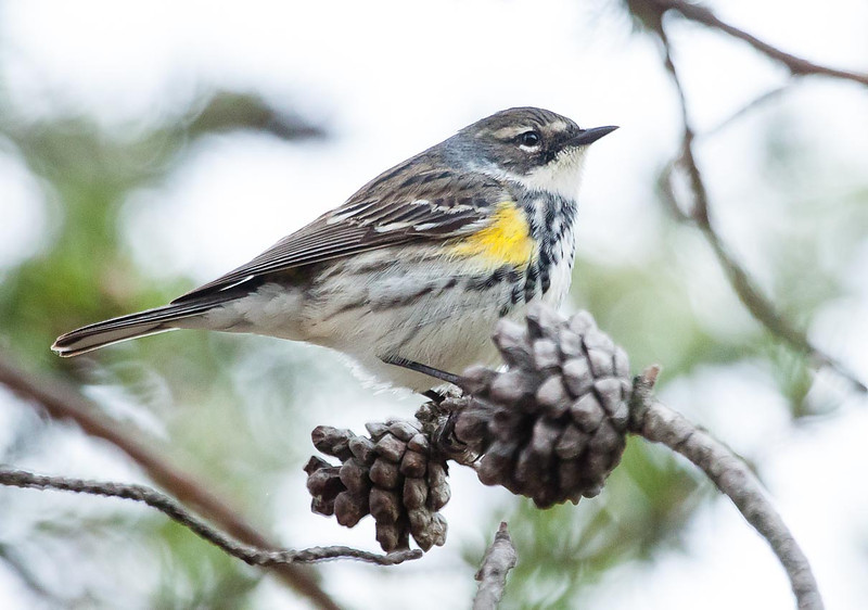 Male Yellow-rumped Warbler