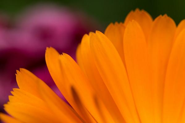 Marigold Petals #2