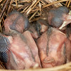 Newborn Northern Cardinals, approximately 4-5 days old.